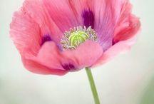 Poppy P