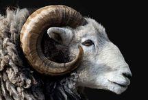 Ewes......baaaaaad