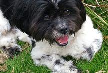 zuchon puppy / toby is a zuchon teddy bear dog.
