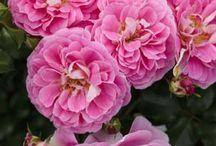 Rose Lovely Pink ® Meinoplius / Rosier à fleurs groupées