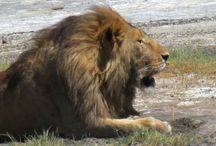 Tanzania Safari (wildlife) / wild wild wild