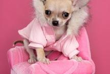 Chihuahuas / Cute chihuahuas  / by Valerie Kreag