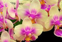 Flores - Orquídea