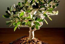 Olive Bonsai / Olive Bonsai / by N Garcia