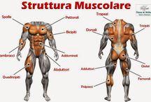 Macrostruttura muscolare