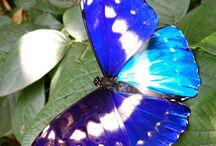 blue butterflies, moths and dragonflies