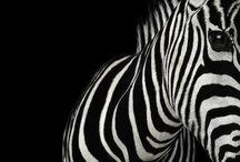 ❤ Zebras for Lil ' El ❤