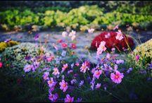 畑のコスモス a cosmos #flower #cosmos #コスモス #畑 #花写真