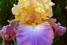 Bearded Iris and daylilies