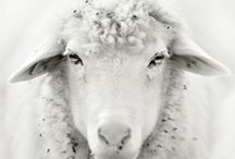 My sheepies