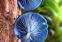 Fugnus-Mushrooms