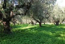 Threpsi Olive Trees