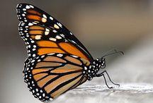 Butterflies & Fairies