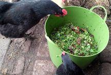 chicken stuff / by Jennifer Finnegan