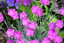 Dianthus/ clavelinas