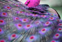 Pauw en andere mooi gekleurde vogels