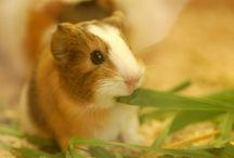 guinea pigs!!!!!!!!!!!!!!