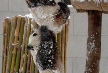 zwierzęta - panda