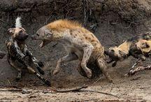 african_animal files