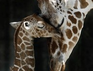 my Kyra bug loves her giraffe's  / by Tammy Davis