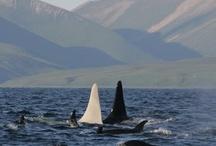 Orcas / by Xoxo Vega
