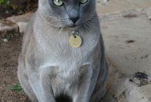 Blue Mink Tonkinese