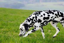 Dalmatian / by American Kennel Club