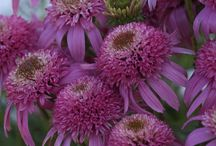 Sun Perennial Plants / Perennials for the sun loving garden.  Recommended by our plant experts, Mary & Chris of www.GreatGardenPlants.com your online plant nursery source for Perennials,Shrubs, Hedge Plants, Hydrangeas, KnockOut Roses, Ground covers, and Other Hardy Plants / by Great Garden Plants