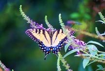 Joy - Butterflies