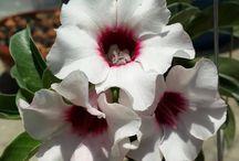 ADENIUM, Sivatagi rózsa