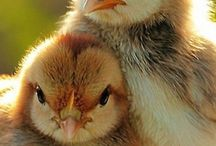 Chicks and their houses.....