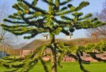 monkey puzzle tree jeff.