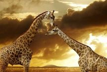 Giraffes / by Pauline Ashley
