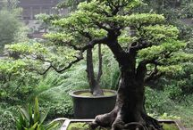 Bonsai Tree / Pictures and Care of Bonsai Trees