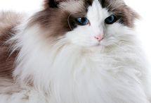 Katten en ragdolls / Ragdolls en andere poezebeesten