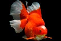 Fish - Goldfish