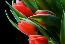 Tulips ~ My Spring Love!