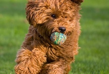 Our dog / We've decided to extend our family with a dog, a labradoodle. It's very exciting!!