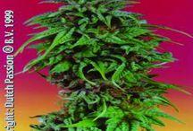 Liečivá marihuana