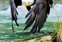 eagles/hawks