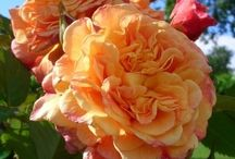 roses unlimited roses