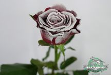 Valentine's Day Flower Favorites / Jet Fresh Flower Distributors, Inc. has all your wholesale flower needs for Valentine's Day.