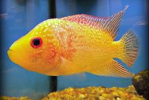Cichlid Fish / Cichlid Fish Available At Aqua Dreams Aquarium. #cichlids #cichlid
