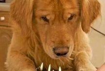 Golden Retrievers / Jessie, Rodger, Bella and Bones, my 4 golden children, mommy love you lots xx