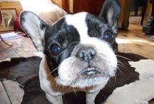 Choukina / french bulldog bouledogue français chien puppy pet
