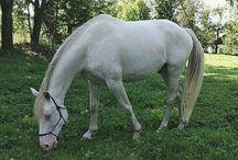 Blue eyes horse