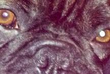 French bulldog ( frenchie)