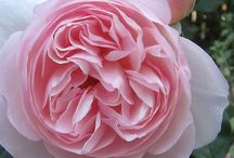 A Rose is a Rose is a Rose / ROSES! / by Marie Muse