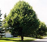 Landscaping tree