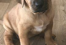 my Broholmer pups